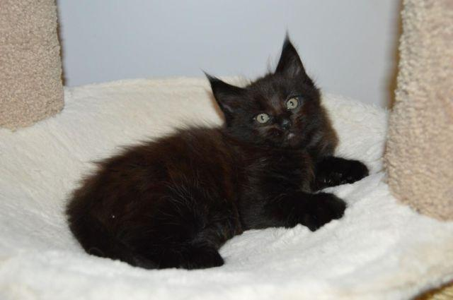 Purebred Maine Coon Kittens ~ Polydactyl, European Lines