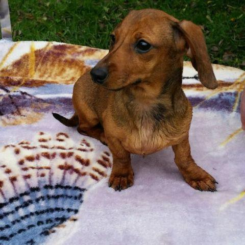 Purebred Miniature Dachshund gorgeous girl