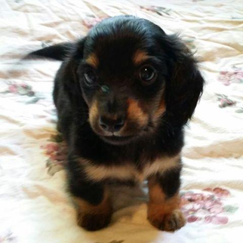 Purebred Miniature Dachshund gorgeous Male