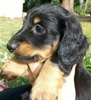 Purebred Miniature Dachshund male black and tan