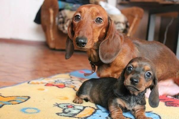 Purebred Miniature Dachshund Puppies For Sale In Merced