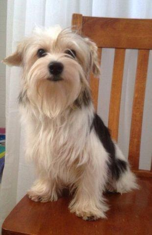 purebreed yorkie purebred parti colored female yorkie for sale in dayton 4394