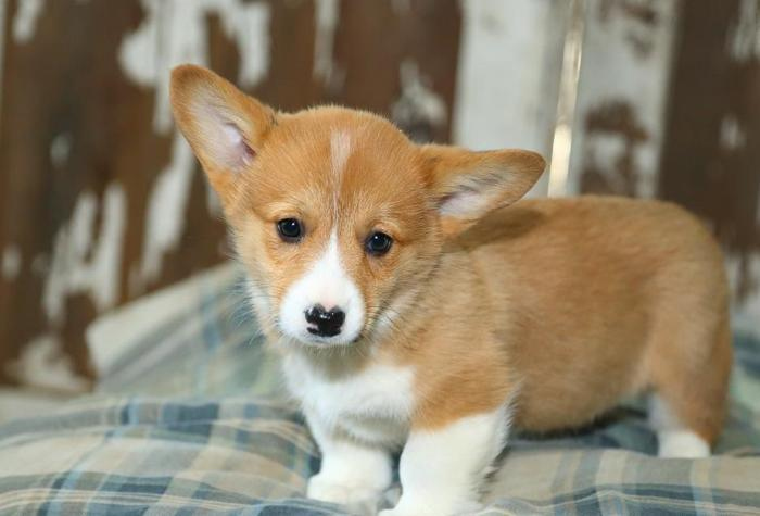 Mini Corgi Puppies For Sale >> Purebred Pembroke Welsh Corgi Puppies
