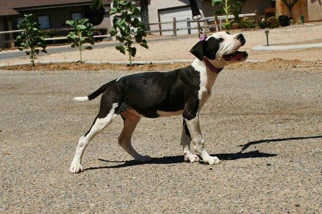 Purebred Pitbull Puppies For Sale In Hesperia California