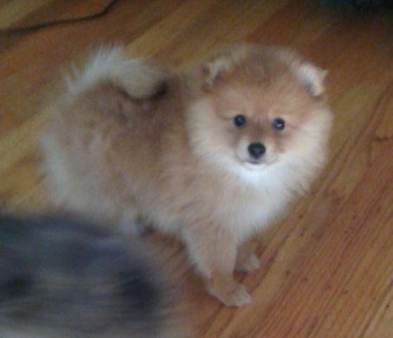 purebred pomeranian puppies purebred pomeranian puppies for sale in gold river 5665