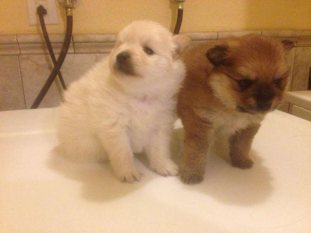 purebred pomeranian puppies purebred pomeranian puppies for sale in gilroy california 4812