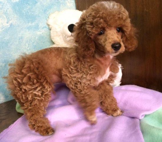 Purebred Poodle Puppy 12 Weeks Old For Sale In Barren