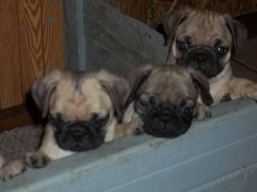 pug breeders in wisconsin purebred pug puppies for sale in kewaunee wisconsin 8569