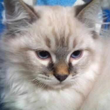 Purebred Ragdoll Kitten For Adoption For Sale In Cascade