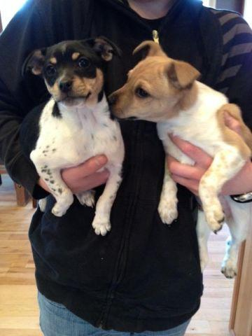 Purebred Rat Terrier Puppies