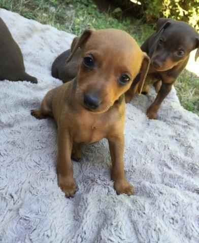 miniature pinscher for sale syracuse ny - photo#19