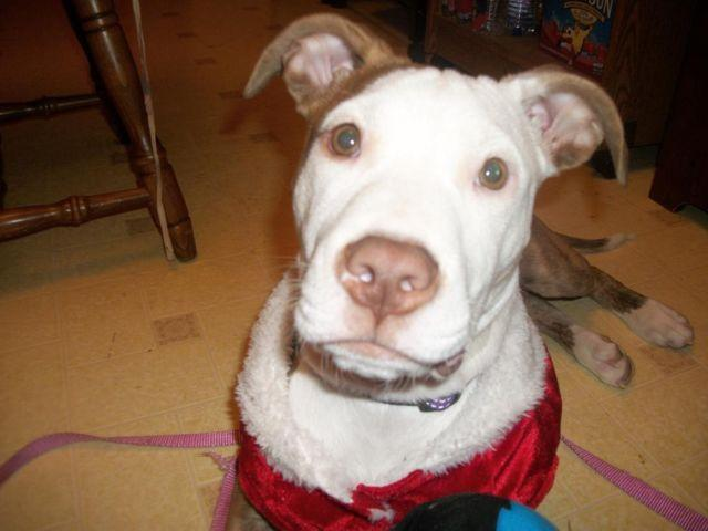 purebred red nose pitbull puppy for sale for Sale in Mount ...