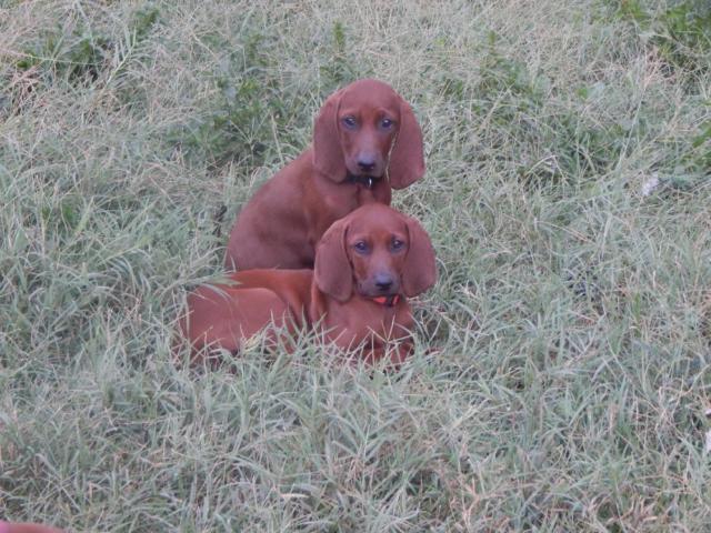 Redbone Coonhound Puppies Classifieds Buy Sell Redbone Coonhound