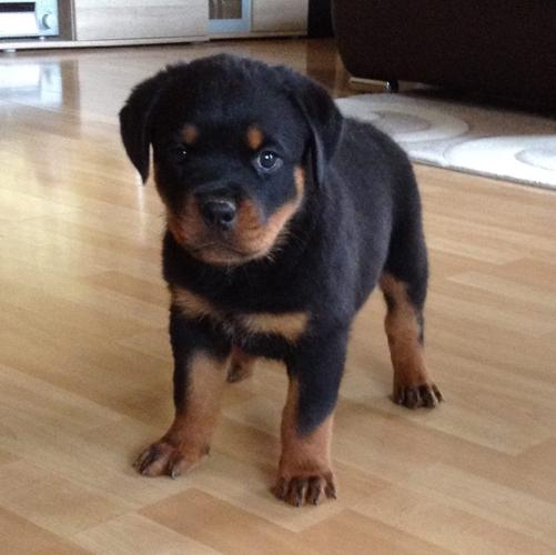 Female Rottweiler Puppies For Sale In Houston Texas Classifieds
