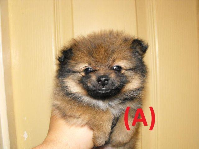purebred pomeranian puppies purebred sable pomeranian puppies for sale in barlow 8483
