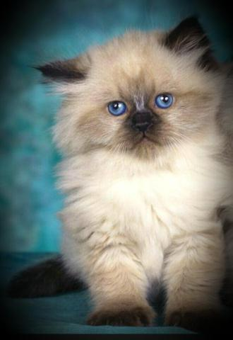 Purebred Sealpoint male himalayan persian kittens ready