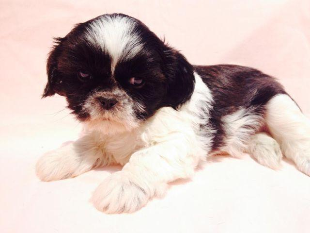 shih tzu purebred purebred shih tzu male puppy 8 weeks ohio ready now 9818