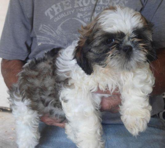 shih tzu purebred purebred shih tzu male puppy for sale in byron new york 6325