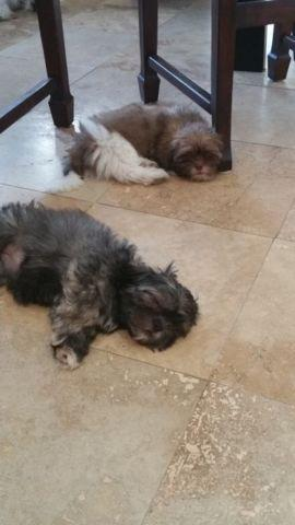 how to know if your shih tzu is purebred