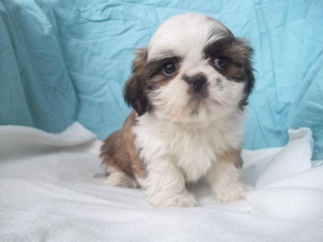 shih tzu puppies 8 weeks purebred shih tzu puppies 8 weeks old ready now ohio 9951