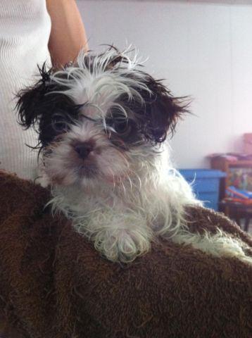 Purebred Shih Tzu Puppies 9 Weeks Old