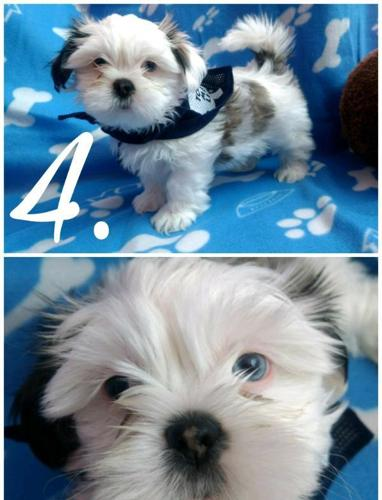 Purebred Shih Tzu Puppies For Sale In Lima Ohio Classified