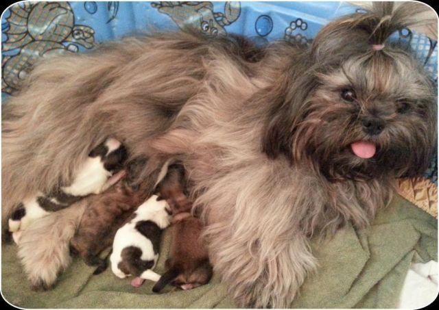 shih tzu purebred purebred shih tzu puppies for sale in lake elsinore 5567