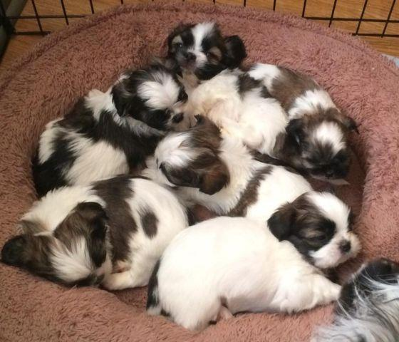 shih tzu purebred purebred shih tzu puppies tiny size up see description 5408