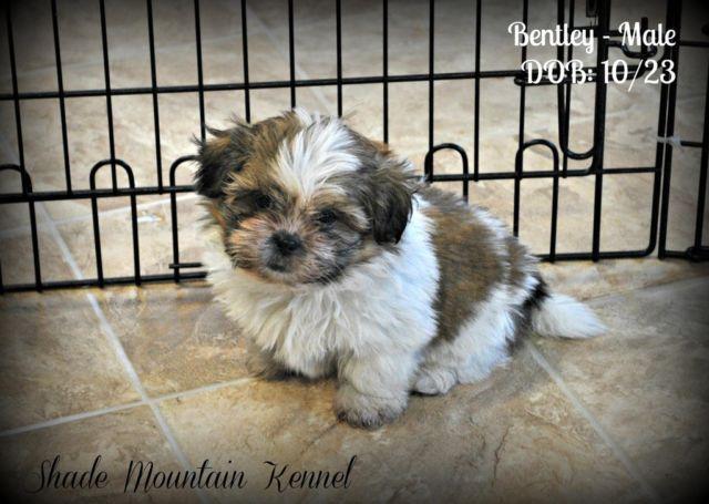 purebred shih tzu puppies for sale nsw