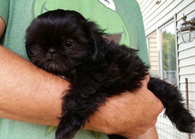 Purebred Shih Tzu Pups For Sale In Zimmerman Minnesota Classified