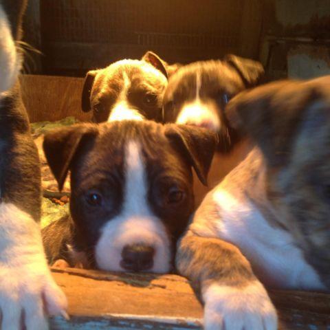 Purebred staffordshire puppys (Valentine's Day)