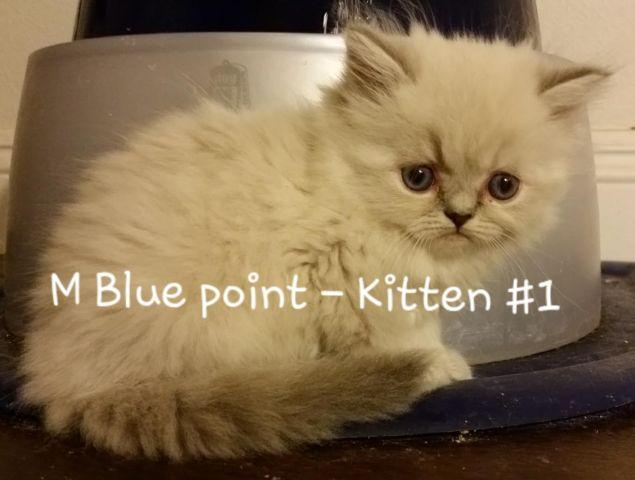 Purebred teacup himalayan persian kittens for Sale in San Marcos ...