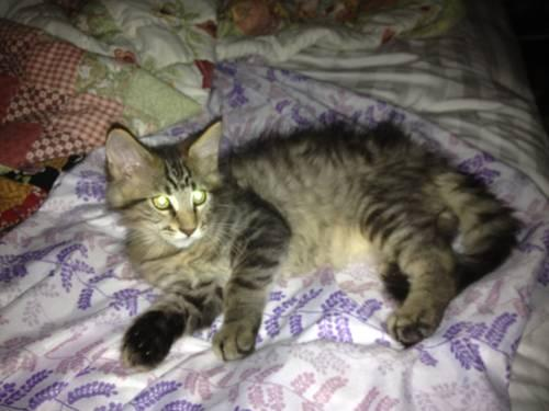 PUREBRED TICA REGISTERED MAINE COON KITTENS FOR SALE