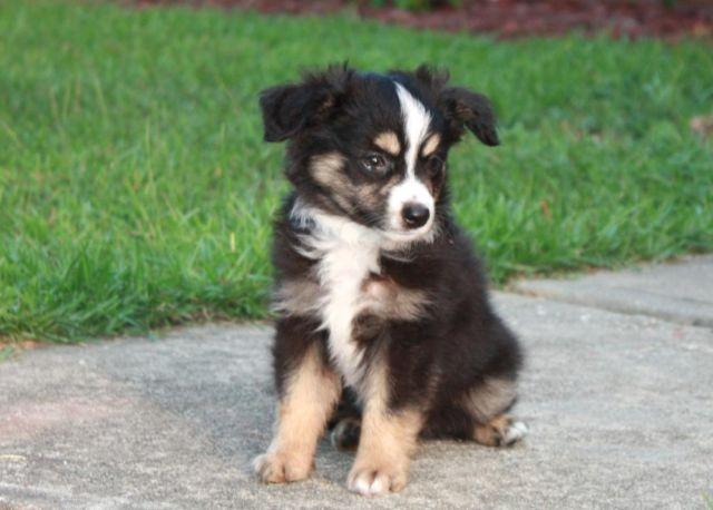 Purebred Toy Australian Shepherd Puppy 9 Wks Old And READY