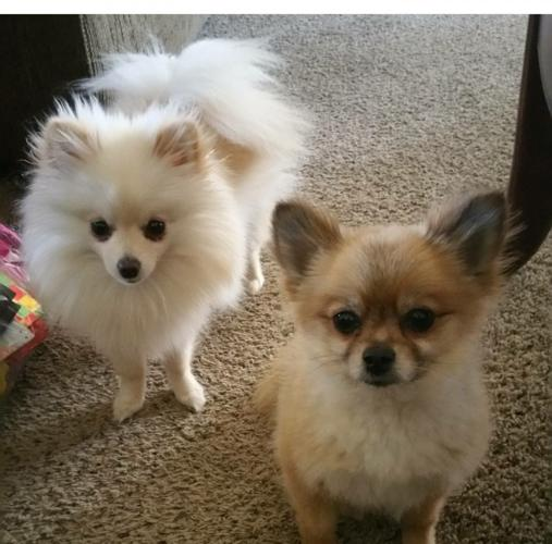 Purebred Toy Pomeranian For Sale In Apple Valley California