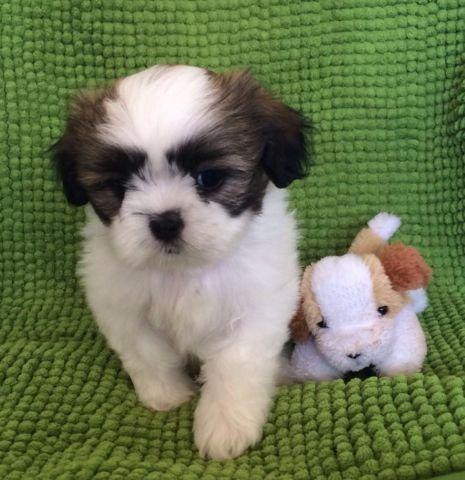 Purebred Toy Shih Tzu Puppies For Sale In Los Angeles California