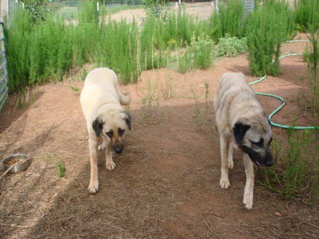 Purebred Turkish Kangal Puppies