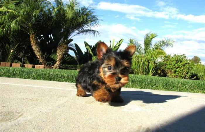 Purebred Yorkie Available (301) 747-7995
