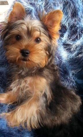 purebreed yorkie purebred yorkie biewer for sale in suamico wisconsin 1971