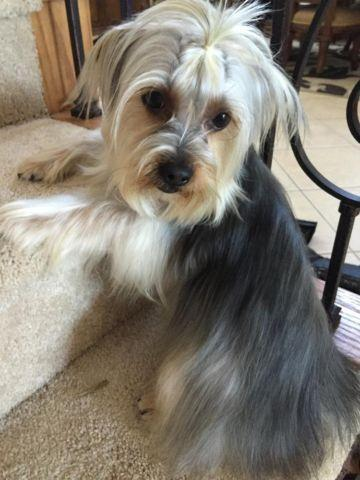 purebreed yorkie purebred yorkie male 18 mos for sale in leona valley 3300