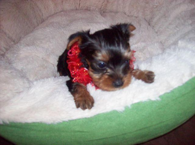 purebreed yorkie purebred yorkie puppies for sale in afton new york 7451