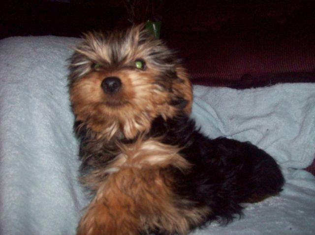 purebreed yorkie purebred yorkie puppies for sale in afton new york 238