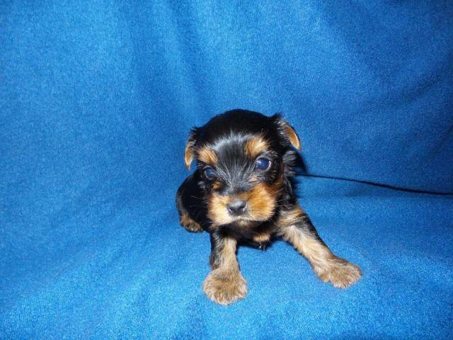 purebreed yorkie purebred yorkshire terrier puppies taking deposits 1752