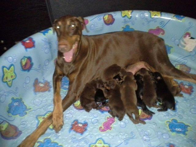 purebreed black rust doberman puppies for sale miami