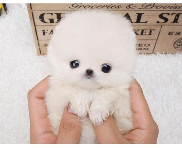 Purely Micro Teacup Pomeranian Puppies For Sale For Sale In San