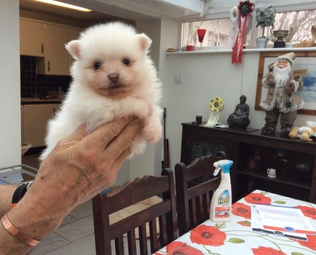 Purely Teacup Pomeranian Puppies For Sale In Birmingham Alabama