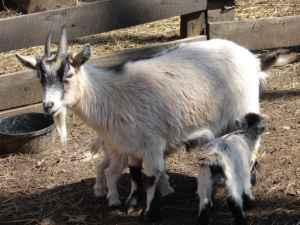 pygmy goat - $50 (Berkeley springs wv)