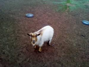 Pygmy Goat Buck For Sale (Sanger)