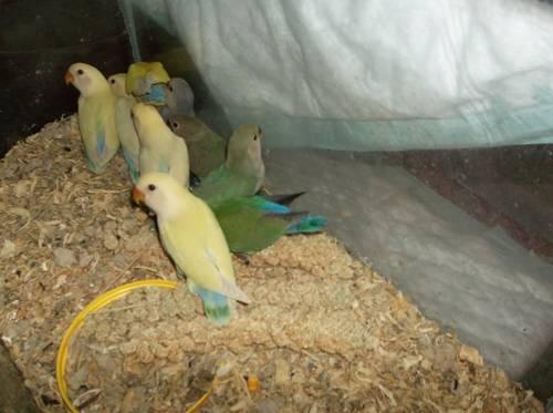 QUAKER,COCKATIEL, GREEN CHEEK, LOVEBIRD , BABIES for Sale ...