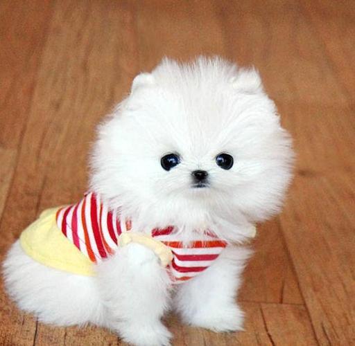 Qualities! Ice White Tea Cup Pomeranian Puppies